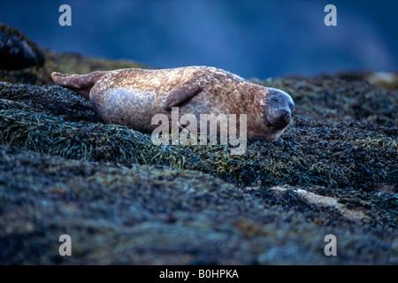 Grey Seal or Atlantic Gray Seal (Halichoerus grypus), Isle of Skye, Scotland, UK - Stock Photo