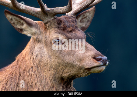 Red Deer (Cervus elaphus), Aurach, Tyrol, Austria, Europe - Stock Photo