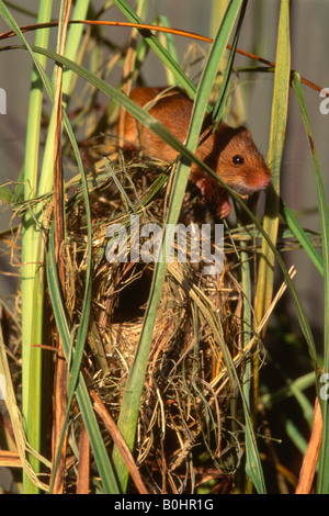 Harvest Mouse (Micromys minutus) climbing over a nest built amongst blades of grass, Schwaz, Tyrol, Austria, Europe - Stock Photo