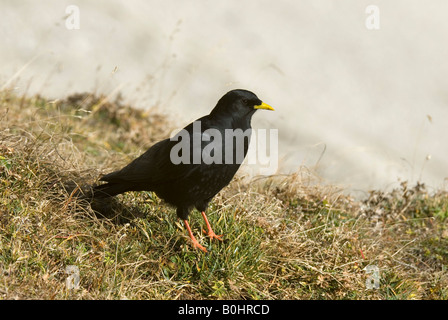 Alpine Chough (Pyrrhocorax graculus) - Stock Photo
