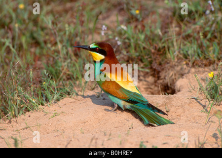 European Bee-eater (Merops apiaster), Sardinia, Italy, Europe - Stock Photo