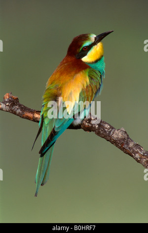 European Bee-eater (Merops apiaster) perched on a branch, Sardinia, Italy, Europe - Stock Photo