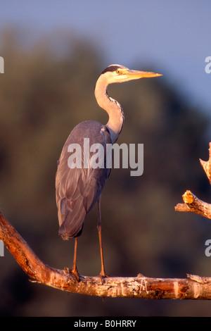 Grey Heron (Ardea cinerea) perched on a branch, Greece, Europe - Stock Photo