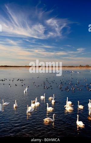 Overwintering Mute Bewick and Whooper Swans Pochard Ducks WWT Welney National Bird Reserve Cambridgeshire England - Stock Photo