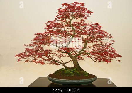 Japanese Maple Acer Palmatum Deshojo - Stock Photo