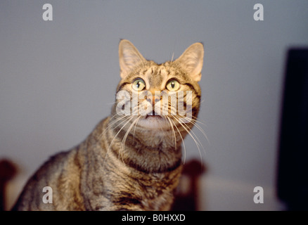 Tabby cat looking up watchfully. - Stock Photo