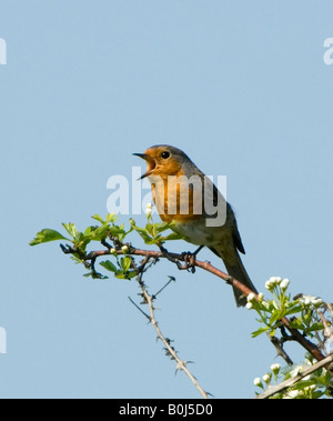 Robin Erithacus rubecula Surrey UK - Stock Photo