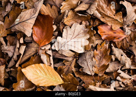 Leaflitter in broadleaf woodland Forest of Dean Gloucestershire - Stock Photo