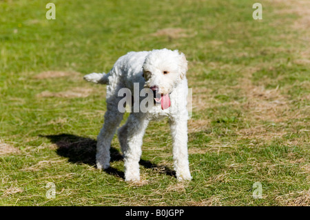 White goldendoodle dog in green field - Stock Photo
