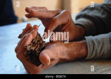 Hands of a tobacco farmer rolling a cigar
