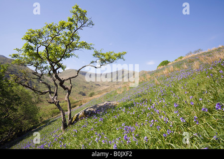 Rural Welsh valley with bluebells flowering in late spring early summer in Snowdonia National Park. Cwm Pennant - Stock Photo