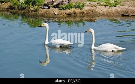 Bewick's Swans (Cygnus bewickii), London Wetland Centre, Barnes, London, England - Stock Photo