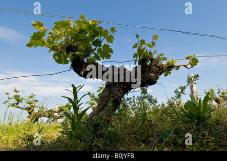 New growth on grape vine, Indre et Loire, France. - Stock Photo