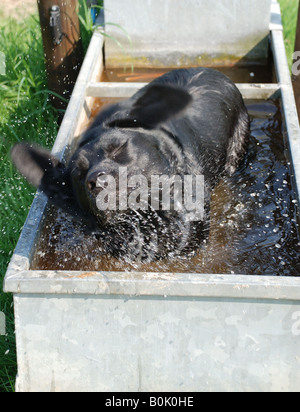 Labrador dog shaking her head while bathing in a water trough - Stock Photo