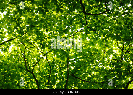 Beech tree canopy and green leaves in spring sunlight, England, UK - Stock Photo