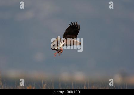 Marsh harrier Circus aeruginosus female Spain spring flight - Stock Photo