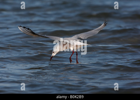Slender billed gull Larus genei Spain spring - Stock Photo