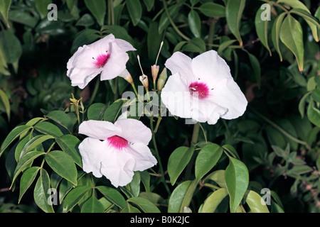 Bower Vine/Bower of Beauty-Pandorea jasminoides cultivar- Rosea-Family Bignoniaceae