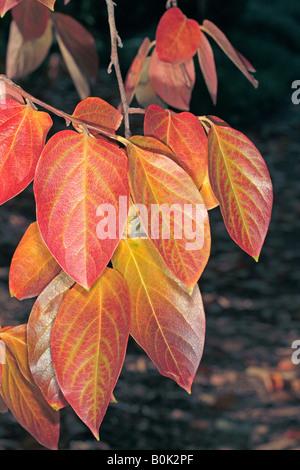 Japanese Date Plum Leaf in Autumn/Kaki Tree-Diospyros kaki-Family Ebenaceae - Stock Photo