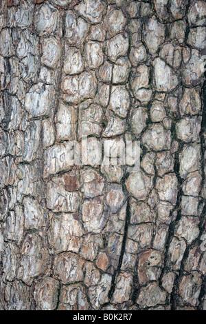Japanese Date Plum Tree Bark /Kaki Tree-Diospyros kaki-Family Ebenaceae - Stock Photo