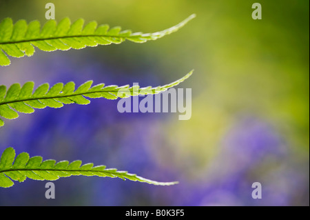 Pteridium aquilinum. Bracken, fern leaf pattern in the English countryside against a blurred bluebell background - Stock Photo