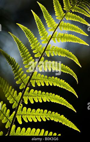 Pteridium aquilinum. Bracken, fern leaf pattern in the English countryside - Stock Photo