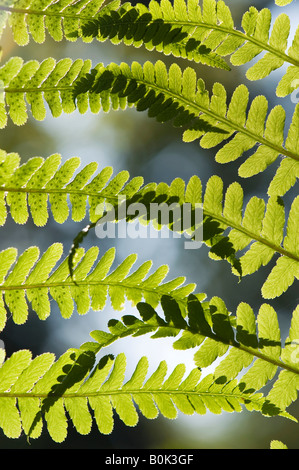 Pteridium aquilinum. Bracken, fern leaf pattern in the English countryside - Stock Photo