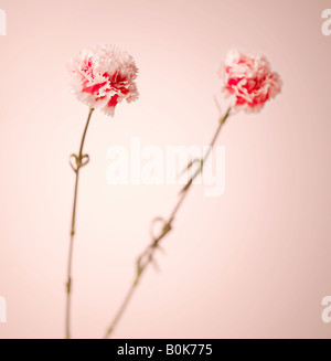 Pink Carnation Flowers - Stock Photo
