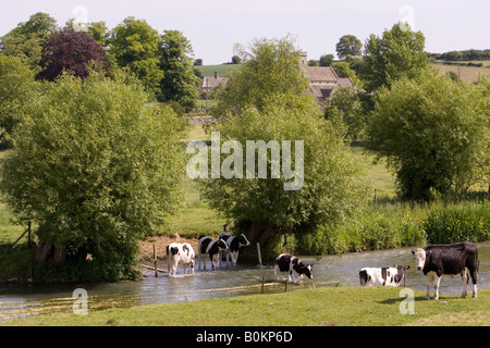 Friesian cows by River Windrush Swinbrook The Cotswolds England United Kingdom - Stock Photo