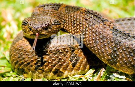 COSTA RICA Venomous Mexican Jumping Pit Viper Snake in captive environment. - Stock Photo