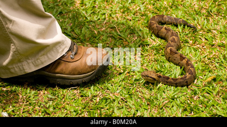 Costa Rica, Venomous Mexican Jumping Pit Viper Snake near man's foot in captive environment. - Stock Photo