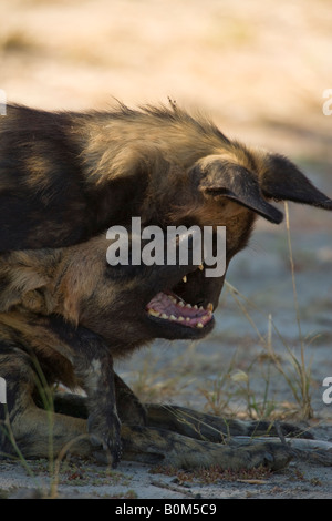 A pair of rare endangered African wild dogs playing close-up in the Linyanti Game reserve in Botswana, soft focus - Stock Photo