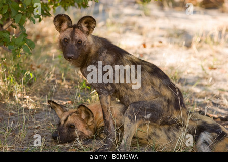 2 African Wild dogs close-up, a rare sighting of an endangered species, playing together in the Linyanti area of - Stock Photo