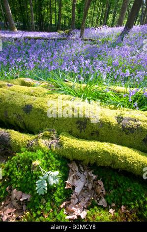 Bluebells in spring woodland Ambleside Cumbria UK - Stock Photo