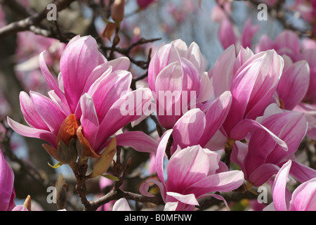Numerous springtime purple and white flowers blossom on a  branch of a tulip magnolia tree (magnolia liliiflora). - Stock Photo