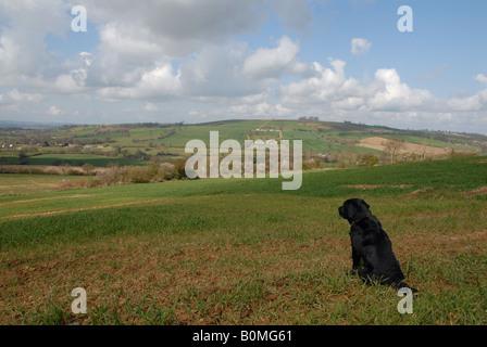 Black Labrador retriever looking towards Brailes Hill Warwickshire - Stock Photo