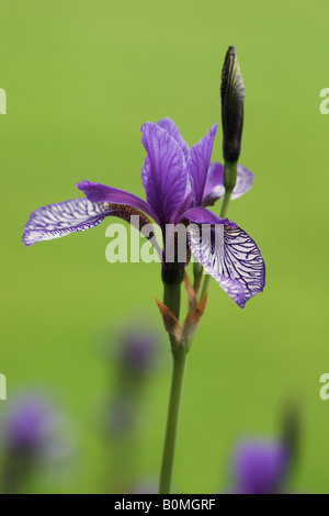 Portrait of a Purple Iris against a blurred green background - Stock Photo