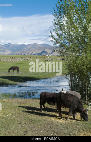 Horse and Yak grazing in a field, near Gyantse, Tibet, China. - Stock Photo