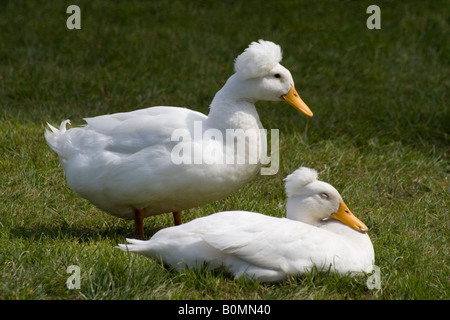 Two Crested Call Ducks (the crest is a result of a skull deformity rather than a species of duck) photographed at - Stock Photo