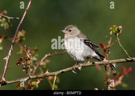Chaffinch Fringilla coelebs female Spain spring - Stock Photo