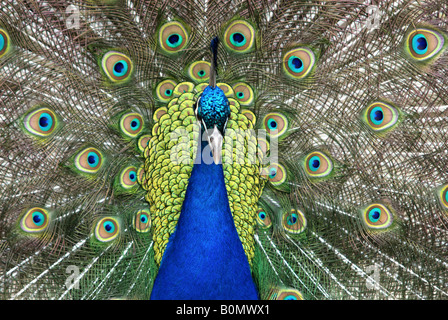 A male peacock is courting a female - Stock Photo