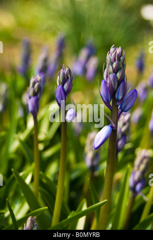 hyacinthaceae hyacinthoides hispanica - Stock Photo