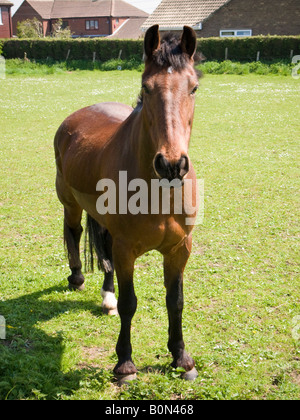 Chestnut brown horse in an urban field looking at camera - Stock Photo
