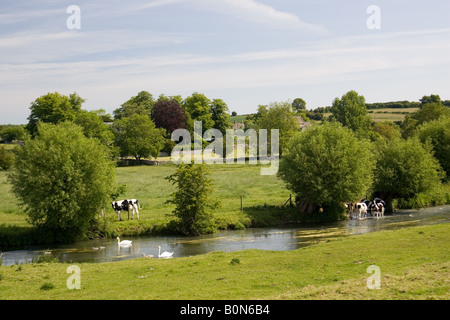 Friesian cows and Mute swans with cygnets River Windrush Swinbrook The Cotswolds United Kingdom - Stock Photo