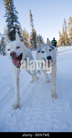 A dogsledge ride with siberian huskies in winterly Lapland / northern Sweden - Stock Photo