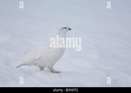 Rock ptarmigan Lagopus mutus female in winter plumage in snow Cairngorms Scotland - Stock Photo