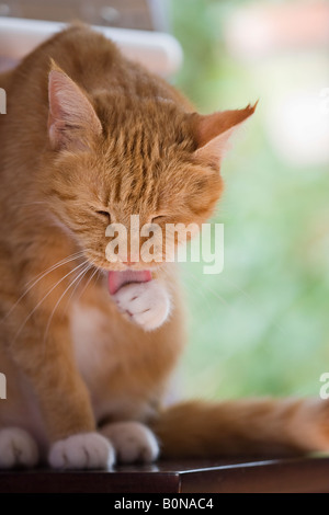 Adult female ginger cat grooming herself and licking her paw - Stock Photo