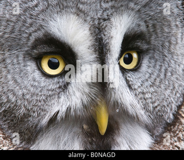 Great grey owl Strix nebulosa close up of eyes bill and facial disc - Stock Photo