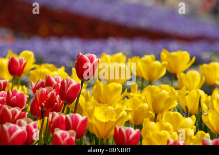 colourful red and yellow tulips in the Westfalenpark in Dortmund Germany - Stock Photo