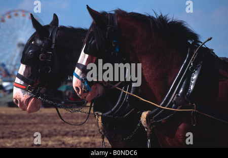 Shire Horses used as a ploughing team at the Great Dorset Steam Fair 2004 - Stock Photo